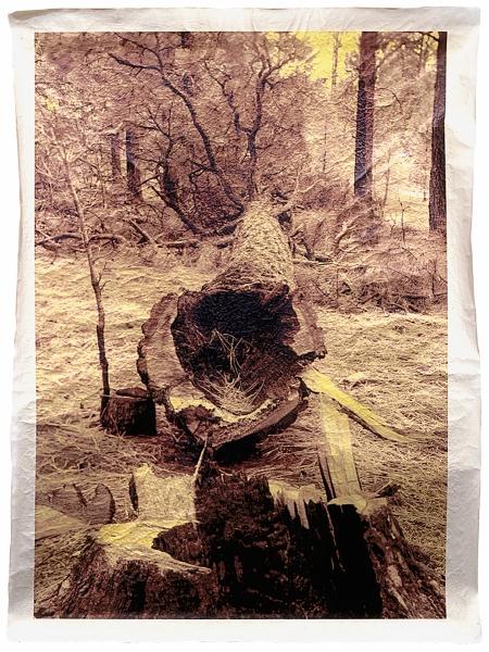 "Ponderosa Pine, following fi re at S Site, Los Alamos National Laboratory, New Mexico 46 x 34"""
