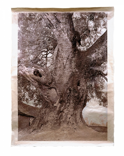 """Village Tree, near Bac Giang, Tien Lac Village, Lang Giang Province, 1,000 years old 46 x 34"""""""