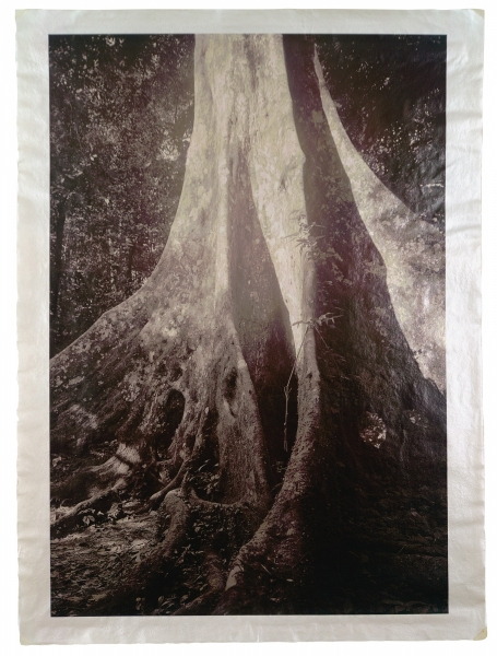 """Queen Tree, Cuc Phuong National Forest, Vietnam, c. 1,000 years old 46 x 34"""""""
